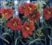 All-American Daylilies - Gardens of Glory