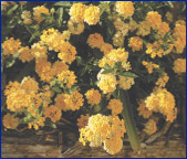 Patriot Lantanas - Gardens of Glory